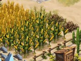 Crops ready to harvest in Westbound: Perils Ranch