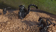 Planet Zoo: Baby ring-tailed lemur